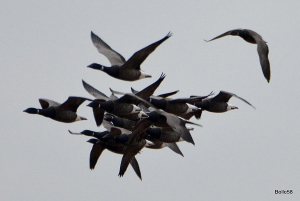 Group of dark-bellied Brent Geese overflying the reserve